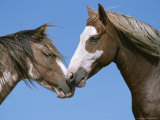 Spanish Mustang Stallions Touching Noses Photographic Print by John Eastcott & Yva Momatiuk