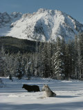 Couple of Gray Wolves, Canis Lupus, Enjoy a Snowy Mountain Meadow Photographic Print by Jim And Jamie Dutcher