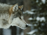 Snow Flakes Dust the Nose of a Gray Wolf, Canis Lupus Photographic Print by Jim And Jamie Dutcher