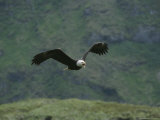 An American Bald Eagle in Flight Photographic Print by Tom Murphy