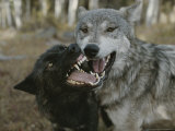 Pair of Gray Wolves, Canis Lupus, Jaw Spar Photographie par Jim And Jamie Dutcher