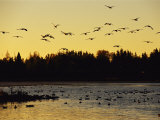 Flock of Geese Flies Over a Manitoba Lake at Sunset Photographic Print by Raymond Gehman