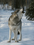 Gray Wolf, Canis Lupus, Howling Photographic Print by Jim And Jamie Dutcher