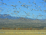 Sandhill Cranes and Snow Geese Take Flight Together Photographic Print by Norbert Rosing