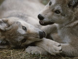 Fourteen-Week-Old Gray Wolves, Canis Lupus, Play with Each Other Photographic Print by Jim And Jamie Dutcher