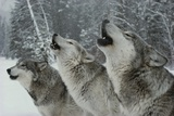 Trio of Gray Wolves, Canis Lupus, Howl in Unison Fotoprint van Jim And Jamie Dutcher