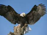 Bald Eagle Perched on Driftwood Photographic Print by John Eastcott & Yva Momatiuk