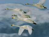 Group of Whooper Swans in Flight Photographic Print by Tim Laman