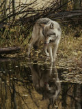 Gray Wolf, Canis Lupus, Stops at a Woodland Stream Photographic Print by Jim And Jamie Dutcher