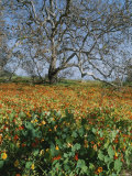 Sycamore Tree with Nasturtiums Growing at Its Base Photographic Print by Rich Reid