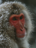 Snow-Dusted Female Japanese Macaque, or Snow Monkey Photographic Print by Tim Laman