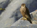 Portrait of a Merlin Sitting on a Rock Photographic Print by Norbert Rosing