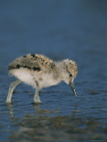 An American Avocet Chick Searches For Food in Shallow Water Photographic Print by Roy Toft