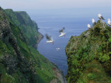 Kittiwakes on High Cliffs and in the Air Along Alaska's Rugged Coast Photographic Print by Joel Sartore