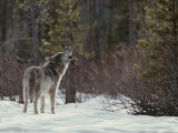 Lone Gray Wolf, Canis Lupus, Howls at the Edge of a Forest Photographic Print by Jim And Jamie Dutcher