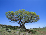 Fig Tree Grows on a Rocky Hillside Near a Dirt Road Photographic Print by Norbert Rosing