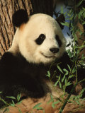 Close View of a Panda Eating Bamboo Photographic Print by Taylor S. Kennedy