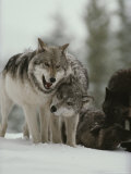 Winter Portrait of a Couple of Gray Wolves, Canis Lupus Photographie par Jim And Jamie Dutcher