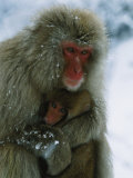 Japanese Macaque, or Snow Monkey, Holds Her Infant Close Photographic Print by Tim Laman