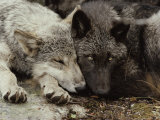 Twenty-Week-Old Gray Wolf Pups, Canis Lupus, Rest Together Fotoprint van Jim And Jamie Dutcher