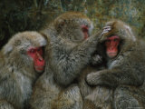 Three Japanese Macaques, or Snow Monkeys, Groom Each Other Photographic Print by Tim Laman