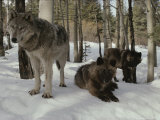 Trio of Gray Wolves, Canis Lupus, Rest in a Snowy Landscape Photographic Print by Jim And Jamie Dutcher