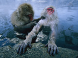 Two Japanese Macaques, or Snow Monkeys, Enjoy a Dip in a Hot Spring Fotografisk tryk af Tim Laman