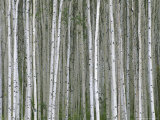 Aspen Tree Trunks in Summer Photographic Print by John Eastcott & Yva Momatiuk