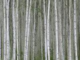 Aspen Tree Trunks in Summer Photographic Print by John Eastcott & Yva Momatiuk