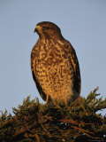 Portrait of a Red Shouldered Hawk Photographic Print by Roy Toft