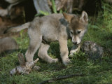 An Eight-Week-Old Gray Wolf Pup, Canis Lupus, Explores a Grassy Area Photographic Print by Jim And Jamie Dutcher