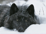 Covered with Snow Flakes, a Gray Wolf, Canis Lupus, Rest in More Snow Fotografisk tryk af Jim And Jamie Dutcher