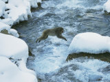 Japanese Macaque, or Snow Monkey, Leaps Across a Rushing Stream Photographic Print by Tim Laman