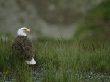 An American Bald Eagle in Grass Photographic Print by Tom Murphy