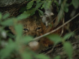 Baby Lion, Panthera Leo, Peers From a Hidden Spot in the Bushes Photographic Print by Kim Wolhuter