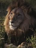 Portrait of a Male Lion, Panthera Leo Photographic Print by Kim Wolhuter