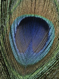 Close View of a Colorful Peacock Feather Photographic Print by Marc Moritsch
