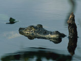 Submerged Cuban Crocodile Holding It's Head Above Water Photographic Print by Steve Winter