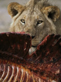 Male Lion Feeding on Kill Photographic Print by Mark Ross