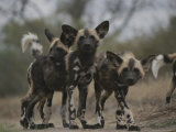 Group of Young Cape Hunting Dogs Mill About Together Photographic Print by Kim Wolhuter