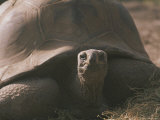 Portrait of a Giant Tortoise Photographic Print by Joy Tessman