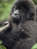 Portrait of a Young Mountain Gorilla Photographic Print by Mark Ross