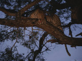 Leopard Rests and Grooms in a Treetop Perch Photographic Print by Kim Wolhuter