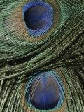 Close View of Colorful Peacock Feathers Photographic Print by Marc Moritsch