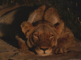 Lion Rests in the Late Afternoon Photographic Print by Kim Wolhuter