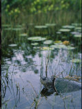 An Aquatic Turtle Surfaces For Air Amid Grasses and Lily Pads Photographic Print by Steve Winter