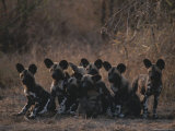 Pack of Young Cape Hunting Dogs Sit on Their Haunches and Rest Fotografisk tryk af Kim Wolhuter