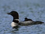 Common Loon, with Baby, Kenai Peninsula, Alaska Photographic Print by Roy Toft