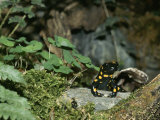 Salamander Perches on a Rock Among the Foliage Photographic Print by Norbert Rosing