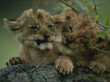 Pair of Baby Lions, Panthera Leo, Wrestle with a Twig Photographic Print by Kim Wolhuter
